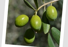 Le nostre olive